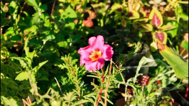 Time-lapse – Flower Closing